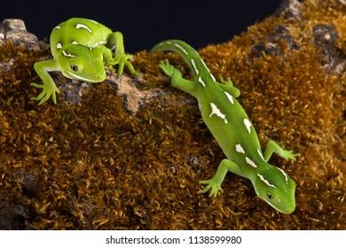 Auckland green geckos (Naultinus elegans)