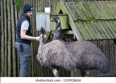 AUCKLAND - JULY 20 2018: Female Zookeeper feeding emu birds. A zookeeper is a worker in a zoo, responsible for the feeding and daily care of the animals.