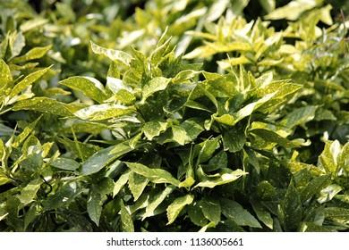 aucuba japonica bush