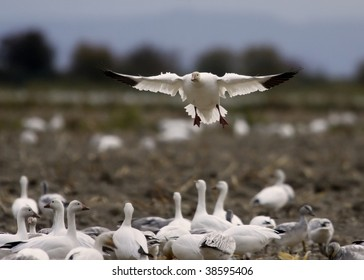 Audience of snow geese watches a landing in a field