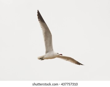 Audouin's Gull in flight