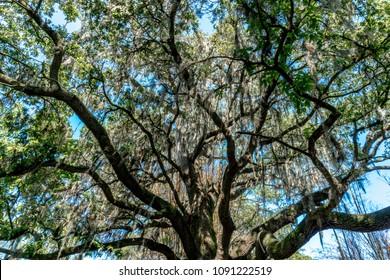 Audubon Oak Trees with Moss