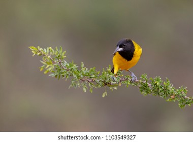 Audubon Oriole in Southern Texas