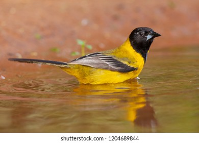 Audubon's Oriole in the water in a pond during spring migration at Laguna Seca Ranch, April 17, 2015 in Edinburg, TX.