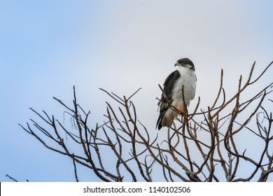 Augur buzzard on the tree