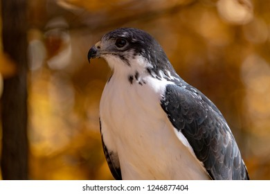 Augur Hawk Close Up in Wooded area