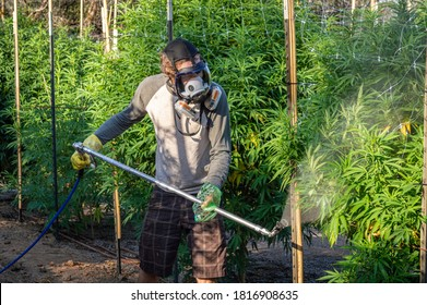 August 12 2020 - Roseburg, Oregon/United States: A man sprays an organic preventative containing Neem oil on Marijuana plants at an outdoor farm.