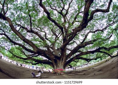 August 5, 2018. A Giant Rain Tree (Chamchuri Tree), Kanchanaburi District, Thailand, Giant Monkey Pod Tree in Kanchanaburi, Thailand