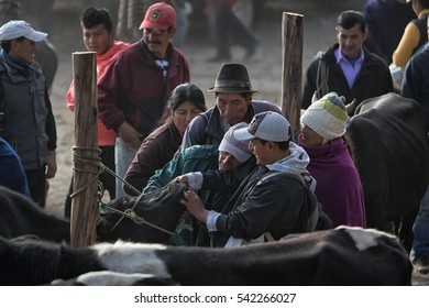 August 6, 2016 Otavalo, Ecuador: people looking at the teeth of a cow in the animal market