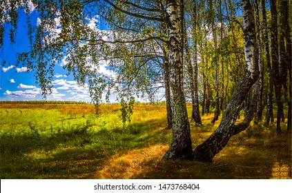 August autumn forest birch trees view. Autumn birch forest trees. Autumn birch forest view. Autumn birch forrest scene