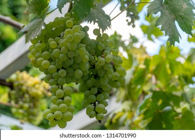 in august the harvest of grapes begins for the best wines