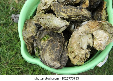 August. Sakhalin oysters from Busse lake.Far East Russia