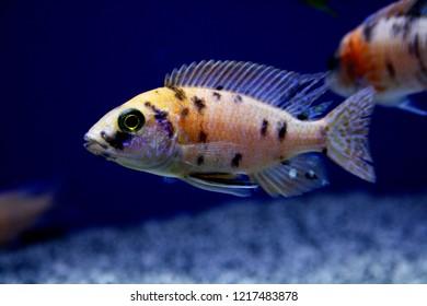 Aulonocara OB - Orange Blotch Lake Malawi African Cichlid - Black spot cichlid