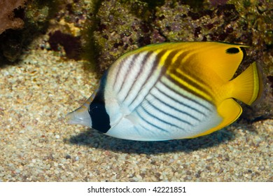 Auriga Butterflyfish in Aquarium