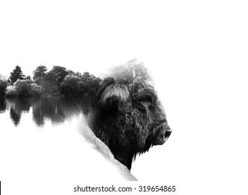 auroch in low key monochrome portrait. Double exposure effect