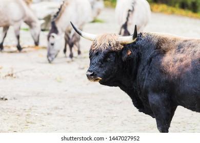 The Auroch also Urus (Bos Primigenius). Wildlife