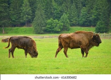 aurochs, animal