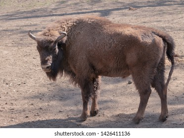 Aurochs animal wild beautiful dangerous