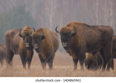Aurochs in Bialowieza National Park