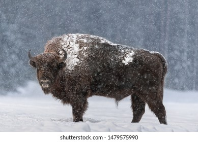 Aurochs Or Bison Bonasus. Huge European Brown Bison ( Wisent ), One Of The Zoological Attraction Of Bialowieza Forest, Belarus. Lonely Endangered Wild Bull, Covered With Snow Crust
