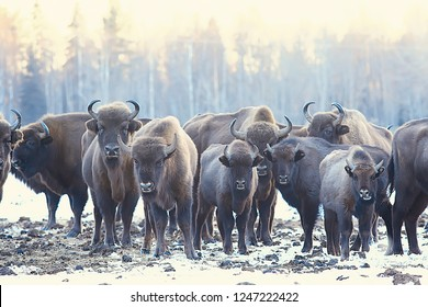 Aurochs bison in nature / winter season, bison in a snowy field, a large bull bufalo