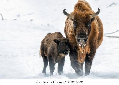 Aurochs bison(mother and child) in nature / winter season, bison in a snowy field - Vama Buzaului, Romania