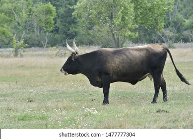 The aurochs (Bos primigenius).The ultimate goal of the Tauros Program is but above all to return it to European nature,  Lake Pape, Latvia
