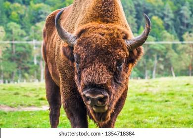 Aurochs close up portrait with horns, head and fur details. Large male European bison or wisent in the Carpathian Mountains, Romania, Eastern Europe.
