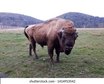 Aurochs male imposing in nature. Zimbru mascul.