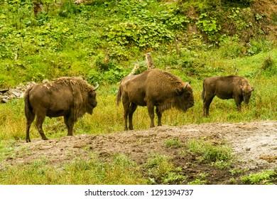 Aurochs in Natural environment