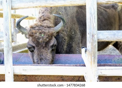 Aurochs in Natural Reservation in Hateg Romania