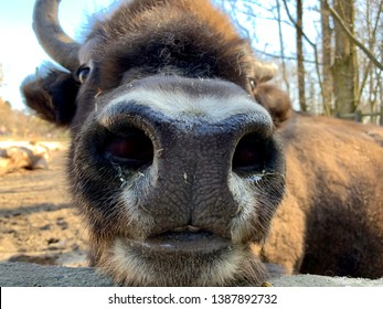 Aurochs nose and head in a bison park