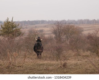 Aurochs on meadow.  Ecological project in Milovice (Czech Republic). Protection of rare species of plants and insects by pasturing of grass by wild horses, aurochs and european bisons.