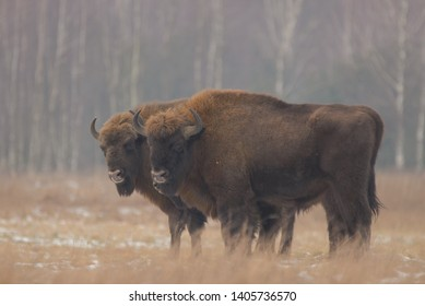 Aurochs in winter in Bialowieza