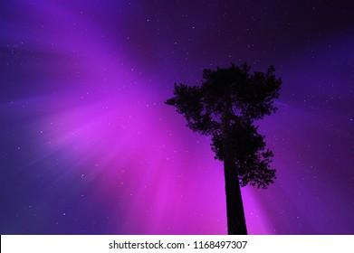 Aurora borealis corona above old pine tree in Lapland, Northern Finland.