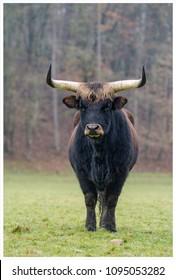 Auroxen in a pasture