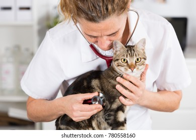 Auscultation beautiful Persian cat veterinary clinic