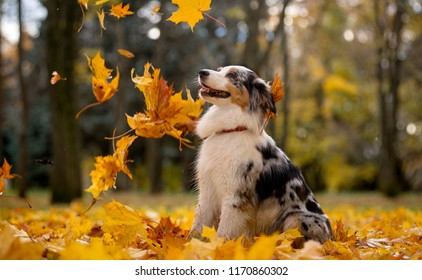 Aussie, the Australian shepherd marble fall in the pile of leaves flying around the leaves of the maple