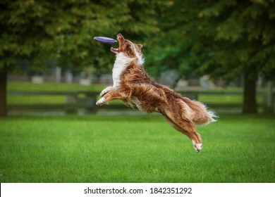 Aussie dog catches flying frisbee disc in the air. Pet playing outdoors in a park.  Australian Shepherd breed.