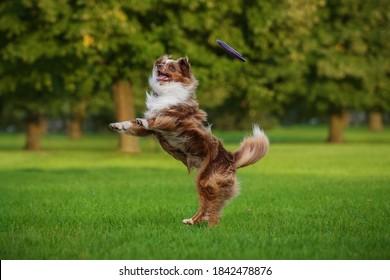 Aussie dog fängt fliegende Scheibe in der Luft. Haustier spielt draußen in einem Park.  Australische Hirtenrasse.