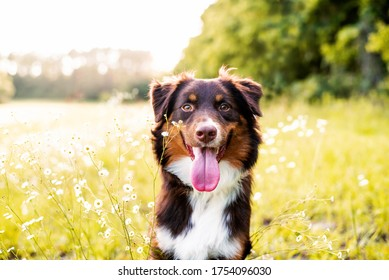 Aussie dog standing on a rock at sunset in front of a field. Portrait of Australian Shepherd