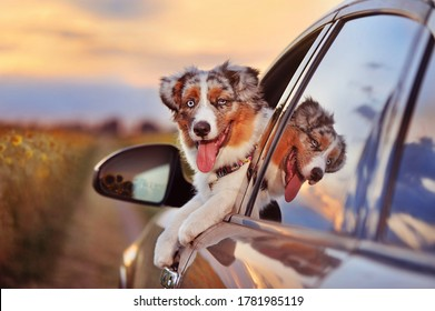 Aussie puppy looking out driver seat of a car while travelling in a couytry side