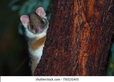 Aussie Ringtail Possum Poking out from behind a tree