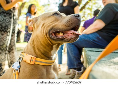 AUSTIN -CIRCA OCTOBER 2017: A young pitbull dog trains and sits with his owner at Zilker Park in Austin, Texas.