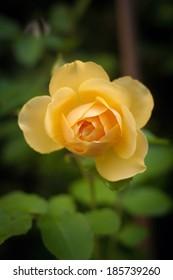 Austin rose Graham Thomas