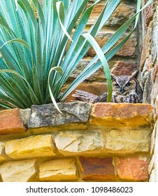 AUSTIN, TEXAS - APRIL 3, 2018- A Great Horned Owl (Bubo virginianus) in a planter made of stone above the courtyard at the Lady Bird Johnson Wildflower Center