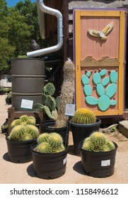 AUSTIN, TEXAS - JULY 19 2018: golden barrel cactus for sale at a nursery