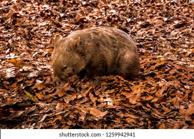 austraklian native wombat foraging for food
