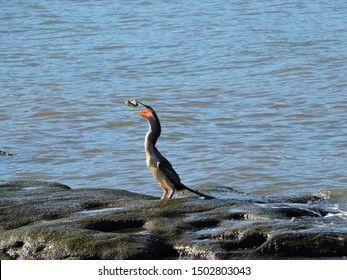 Australasian Darter tossing fish in air to swallow