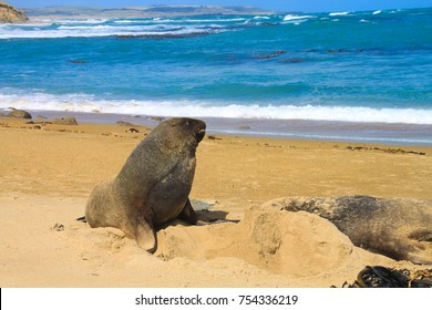 Australasian Fur Seals On Shores Near Waipapa Point Near Otara Catlins South Island New Zealand